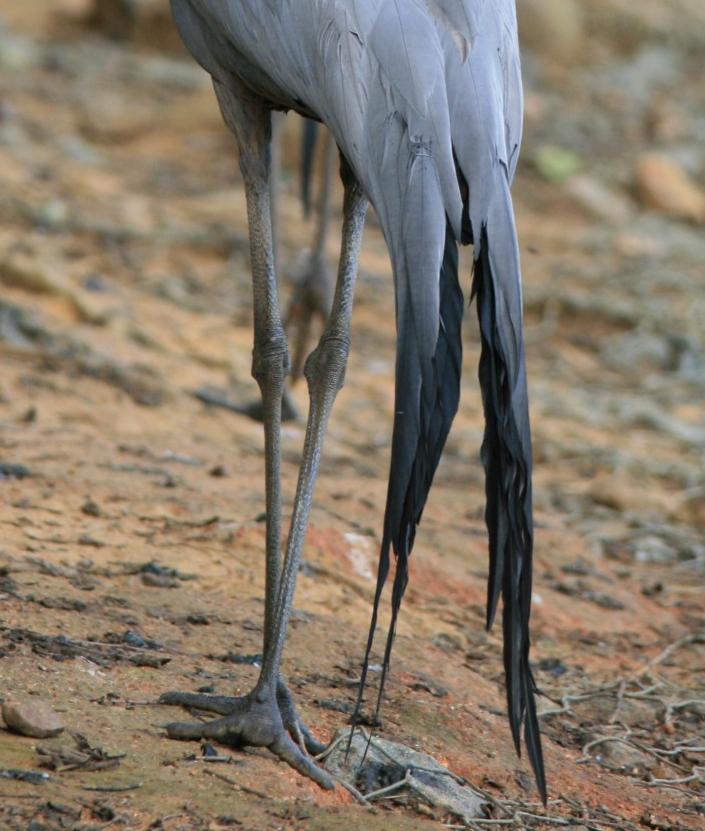 crane legs