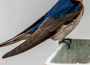 swallow wing